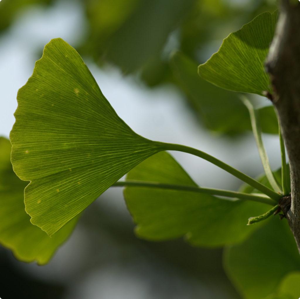 Ginkgo Blatt am Baum